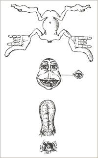 Image 3 : « Premier homoncule sensorimoteur » in Penfield et Boldrey, 1937, p. 432.