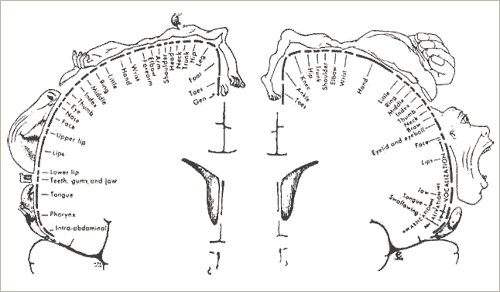 Image 4 : « Second homoncule sensorimoteur » in Penfield et Rasmussen, 1950, pp. 214-215.
