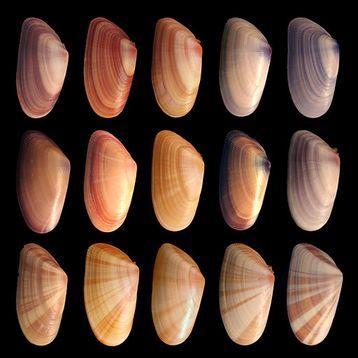 Figure 1 : Donax variabilis, une même espèce, de multiples apparences ou phénotypes : classer ou singulariser ? Source : «Coquina variation 3 » de Debivort, Wikimedia commons, CC-BY-SA.