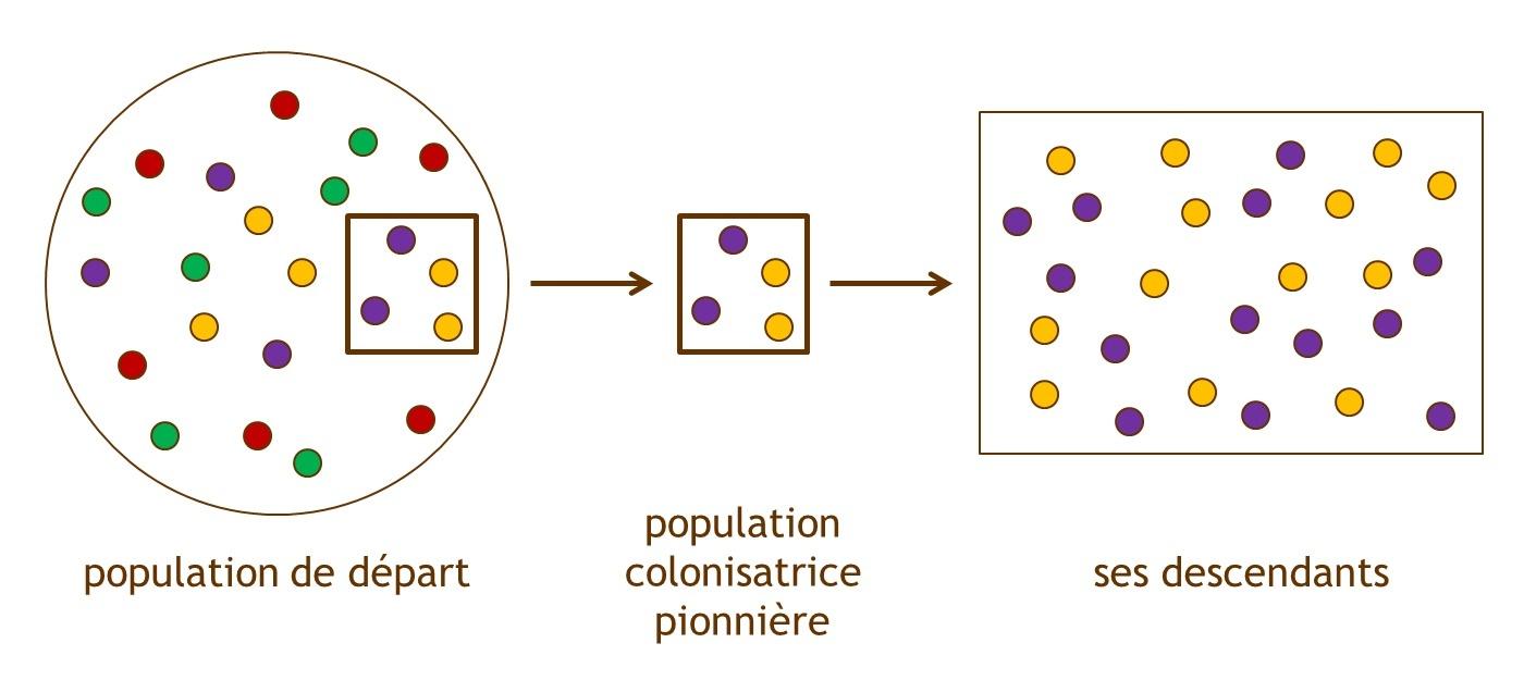 Figure 3 : L'« effet fondateur », exemple d'une dérive génétique. Les ronds colorés représentent les différents variants génétiques d'un même gène (allèles). Lorsqu'une partie de la population émigre pour coloniser un nouveau territoire, la diversité génétique est diminuée dans la population issue de cette émigration et ne représente donc pas celle de la population initiale. La dérive génétique produit, au hasard, une variation de la fréquence des différents allèles dans la population des descendants, et ce en absence de toute sélection naturelle. Source : Sonia Dheur.